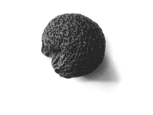 Bärlauch Saatgut