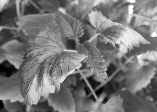 Die Blätter werden bei Sonnenbrand zuerst silbrig weiss
